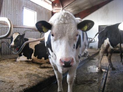 En ko dricker ungefär hundra liter vatten per dygn.