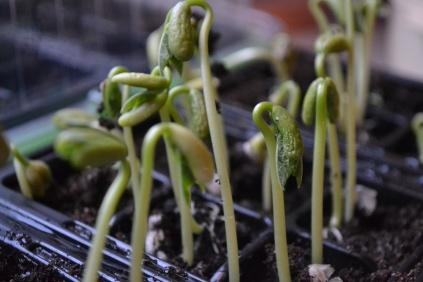 Växt1