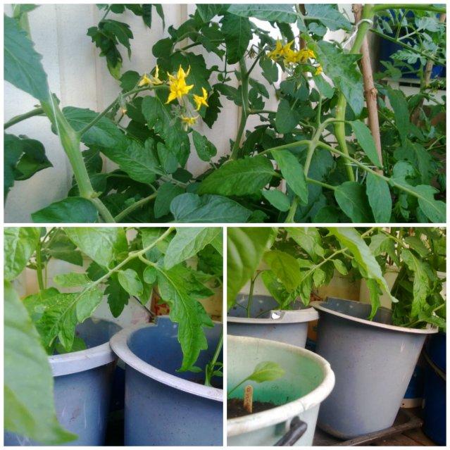 En skog av tomater, de trivs gott i sina hinkar på altanen.