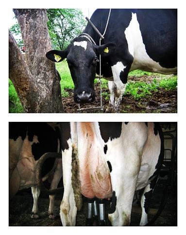 Sommarrapport från mjölkgården