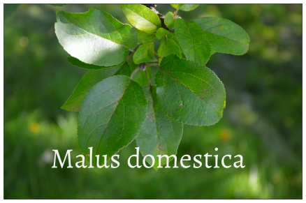 malus domestica 2