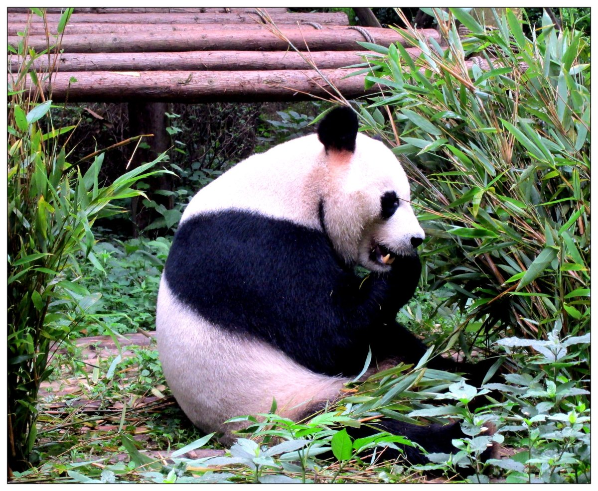 Chengdu Panda Breeding Center