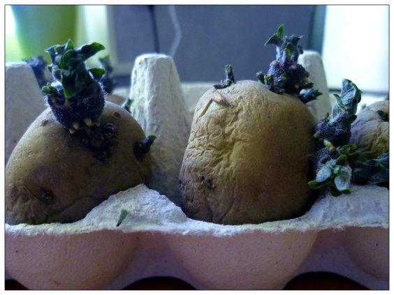 förgrodd potatis