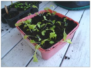 Sallatsplantorna har jag fått plantera isär och de får stå ute på dagarna nu.