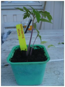 """Jag har inte sått några tomatplantor i år för huset jag bor i ska målas om i sommar och tomatplantorna blir så stora att de är svåra att flytta undan. Men jag har genom """"frögummorna"""" fått några tomatplantor som får hålla sig på sin kant vid husmålningen."""