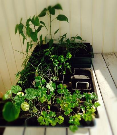 Avhärdning är en viktig procedur för att dina plantor inte skall bli uttorkade eller chockade av de ändrade förhållandena. Men det är väldigt tråkigt att råka glömma sina plantor utomhus en kall natt! Därför kan det vara smart att sätta ett alarm eller skriva en lapp så att plantorna inte glöms bort ute.