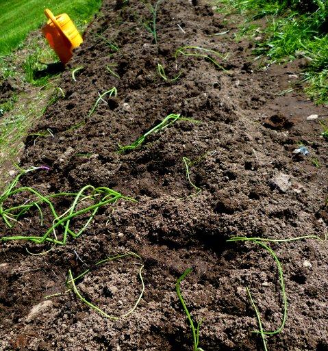 Purjolök som precis har planterats ut